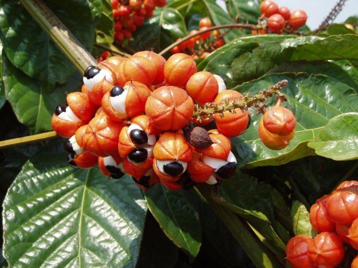 Les bienfaits du guarana